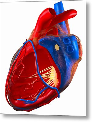 Structure Of A Human Heart, Artwork Metal Print by Roger Harris