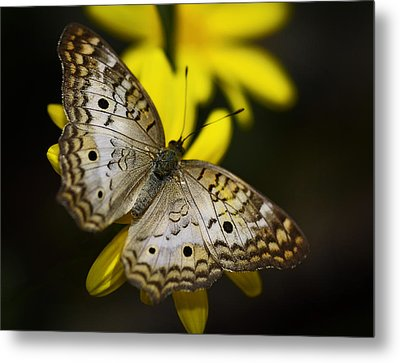 White Peacock Butterfly  Metal Print by Saija  Lehtonen