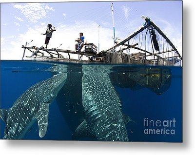 Whale Shark Feeding Under Fishing Metal Print by Steve Jones