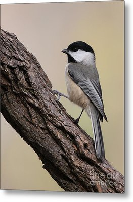 Metal Print featuring the photograph Black-capped Chickadee by Jack R Brock