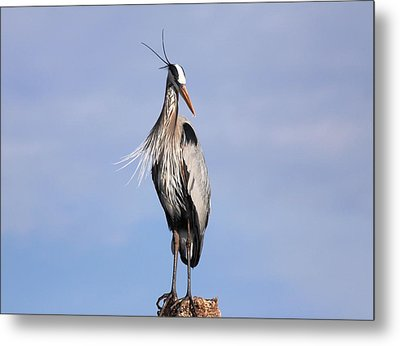 Blue Heron Metal Print by Jeanne Andrews
