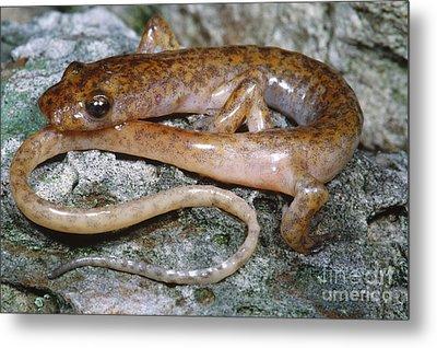 Cave Salamander Metal Print by Dante Fenolio