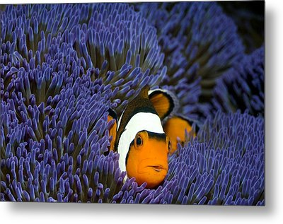 Clown Anemonefish Metal Print by Georgette Douwma