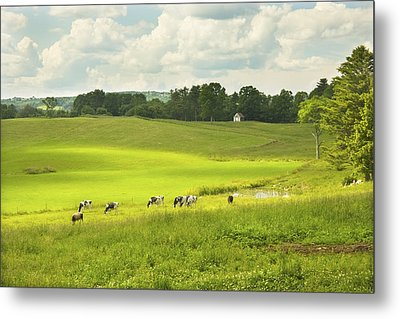 Cows Grazing On Grass In Farm Field Summer Maine Metal Print