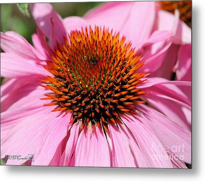 Echinacea Purpurea Or Purple Coneflower Metal Print by J McCombie