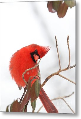 Metal Print featuring the photograph Northern Cardinal by Jack R Brock