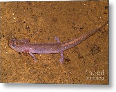 Ozark Blind Cave Salamander Metal Print by Dante Fenolio