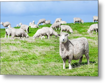 Sheeps Metal Print by MotHaiBaPhoto Prints