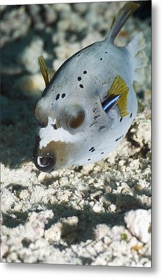 Blackspotted Puffer Metal Print by Georgette Douwma