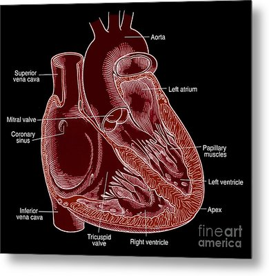 Illustration Of Heart Anatomy Metal Print by Science Source
