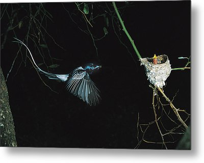Madagascar Paradise Flycatcher Metal Print by Cyril Ruoso