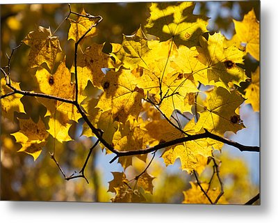 Maple Metal Print by Igor Sinitsyn