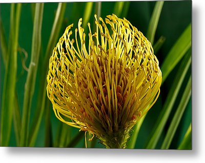 Picture Of A Pincushion Protea Metal Print