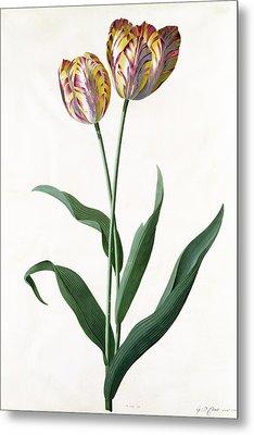 5 Tulip Tulip  Metal Print by Georg Dionysius Ehret