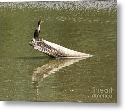Double-crested Cormorant Metal Print by Jack R Brock