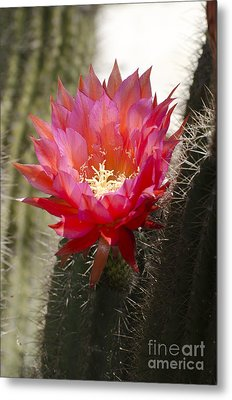 Red Cactus Flower Metal Print by Jim And Emily Bush