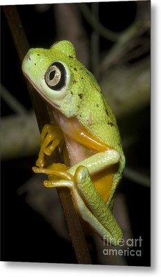 Tree Frog Metal Print by Dante Fenolio