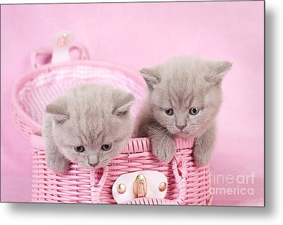 British Shorthair Kitten Metal Print by Waldek Dabrowski
