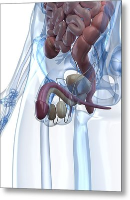 Male Reproductive System, Artwork Metal Print by Sciepro
