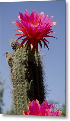 Pink Cactus Flower Metal Print by Jim And Emily Bush
