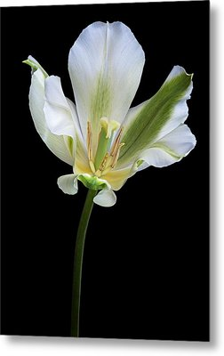 Tulip (tulipa Gesneriana) Metal Print by Dr. Nick Kurzenko