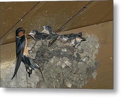 A Barn Swallow Mother Feeds Her Young Metal Print by Norbert Rosing