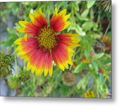 A Beautiful Blanket Flower Metal Print by Ashish Agarwal