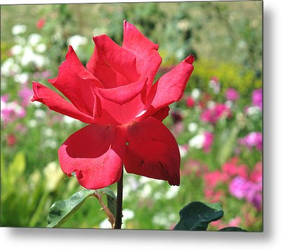 A Beautiful Red Flower Growing At Home Metal Print by Ashish Agarwal