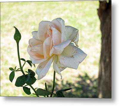 A Beautiful White And Light Pink Rose Along With A Bud Metal Print by Ashish Agarwal