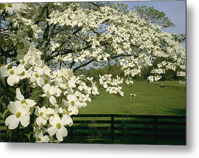 A Blossoming Dogwood Tree In Virginia Metal Print by Annie Griffiths