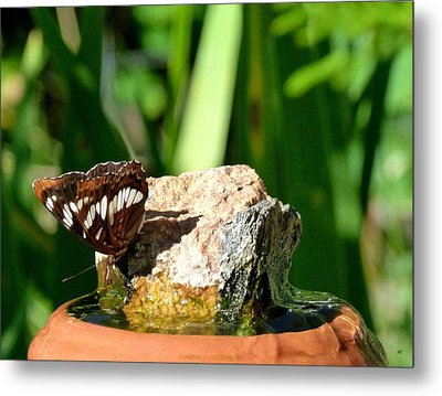 A Butterfly Enjoys A Drink Metal Print by Will Borden