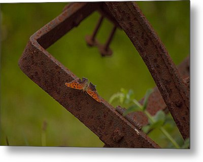 A Butterflys Resting Place Metal Print by Karol Livote