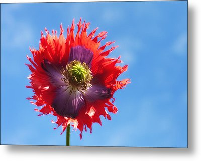 A Colorful Flower With Red And Purple Metal Print by John Short