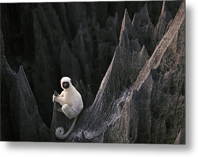 A Deckens Sifaka Lemur In The Grand Metal Print by Stephen Alvarez