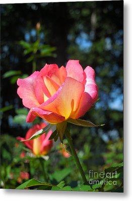 A Delicate Rose Metal Print