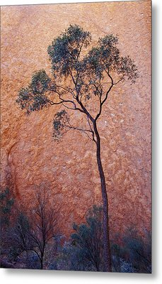 A Desert Bloodwood Tree Against The Red Metal Print by Jason Edwards