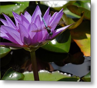 A Dragonfly Guarding His Water Lily Metal Print