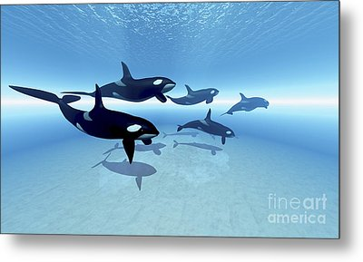A Family Of Killer Whales Search Metal Print by Corey Ford