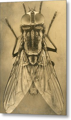 A Female House Fly Resting On Glass Metal Print by N.A. Cobb