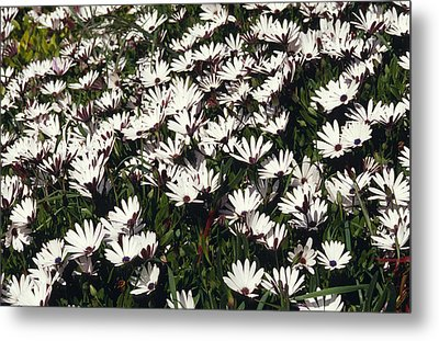 A Field Of Prolofic White Daisy Flowers Metal Print by Jason Edwards