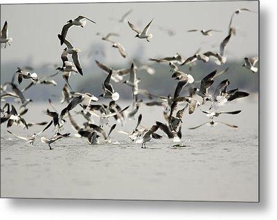 A Flock Of Laughing Gulls Larus Metal Print by Tim Laman