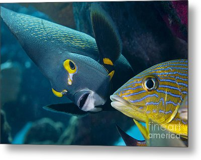 A French Angelfish Swims Up Close Metal Print by Terry Moore