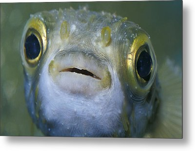 A Globe Fish Also Known As A Puffer Metal Print by Jason Edwards