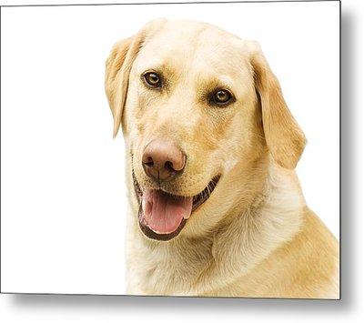 A Golden Labrador Metal Print by Chris Knorr