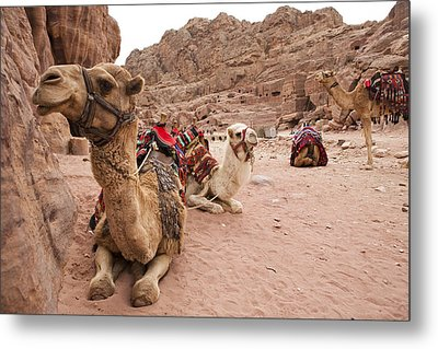 A Group Of Camels Sit Patiently Metal Print by Taylor S. Kennedy