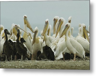 A Group Of Eastern White Pelicans Metal Print