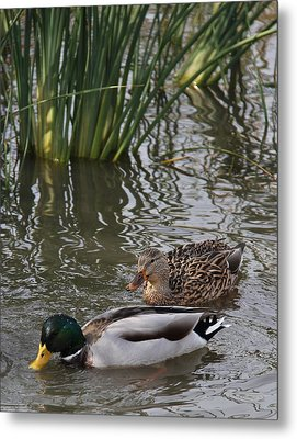 A Handsome Couple Metal Print by Frank Wickham