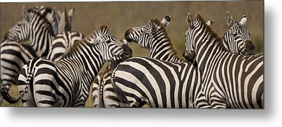 A Herd Of Zebra Stand In A Plain Metal Print by Ralph Lee Hopkins