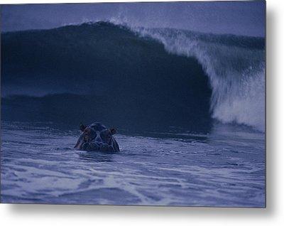 A Hippopotamus Surfs The Waves Metal Print by Michael Nichols