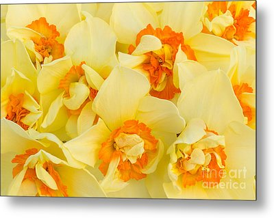 A Host Of Golden Daffodils Metal Print